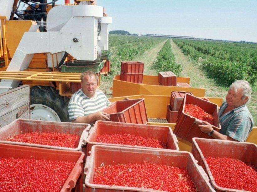 ČR: Pestovanie ríbezlí končí, tak ako broskýň alebo egrešov