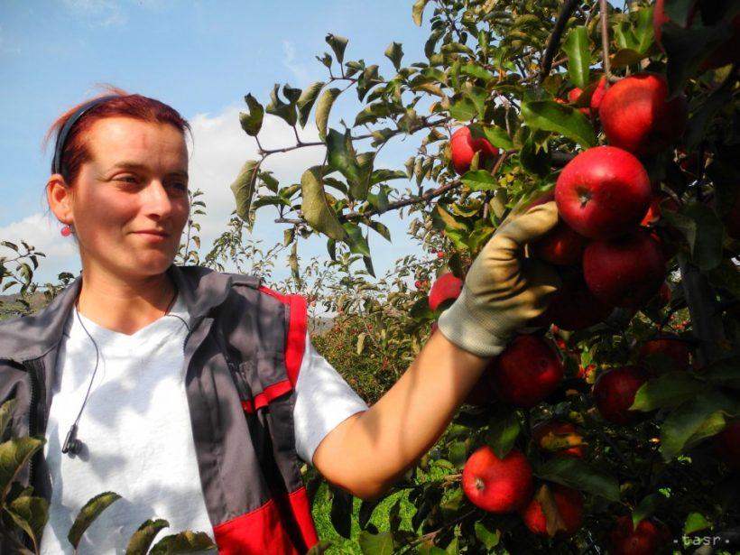 Nechce rozumieť ministerstvo práce našim pestovateľom?