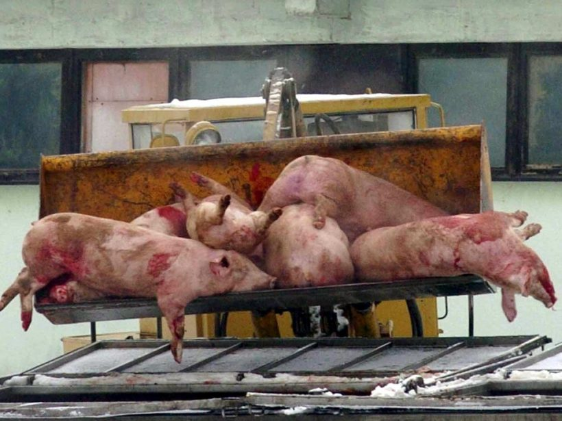 Chovateľa v Poľsku zožrali svine