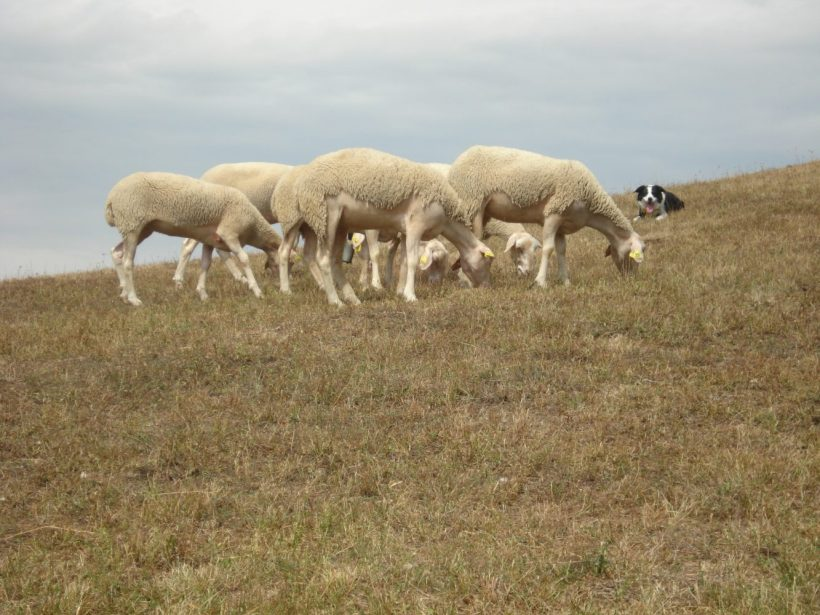 Envirorezort sa zasadzuje, aby pastierske psy boli podporené z novej SPP