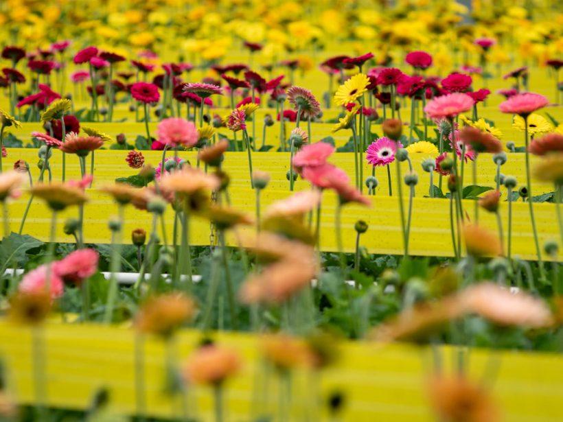 Slovkvet pripravuje v Bánove výstavbu skleníkov na pestovanie gerber