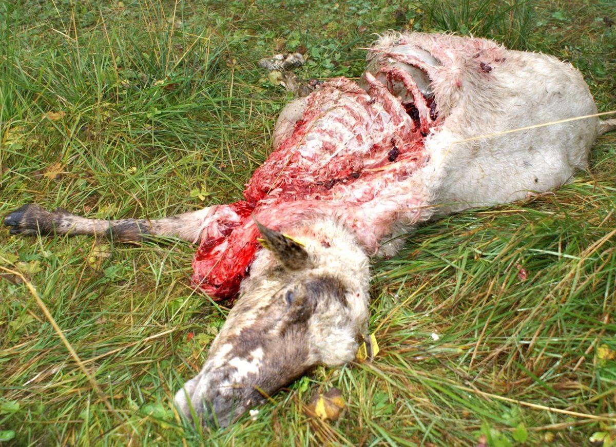 Agrorezort si stojí za kvótou, ktorú určilo na lov vlka