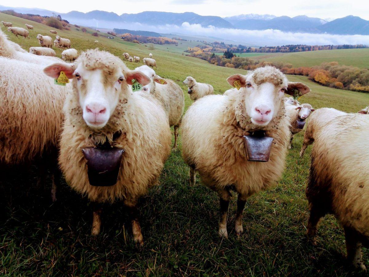 ZCHOK: Budaj nechce v prírode ani ľudí, ani ovce