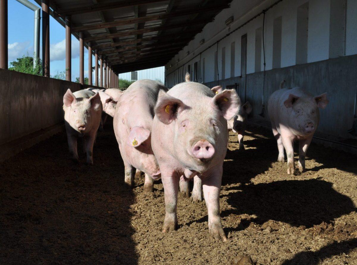 Chanava: Prestavbou kravína by mala vzniknúť výkrmňa pre 3800 ošípaných