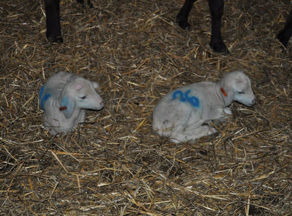 Spoločnosť Agroterra Hubovo chce rozšíriť chov oviec na vyše 1200 kusov