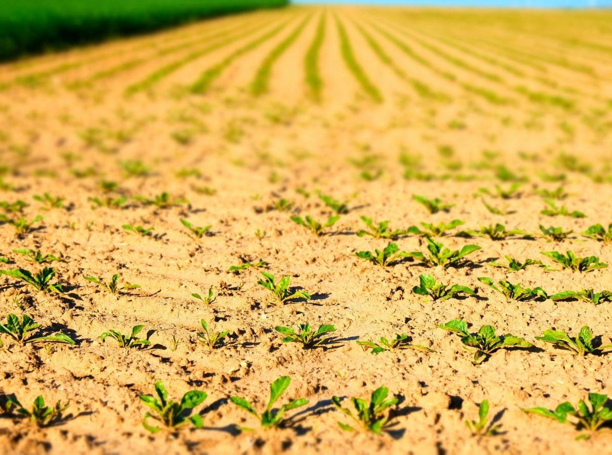 Pestovanie cukrovej repy v ohrození. Mráz likvidoval úrodu